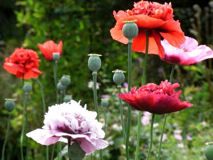208 best poppy porn images on pinterest poppies beautiful flowers one stop poppy seeds shoppe buy annual poppiesflower seed mightylinksfo