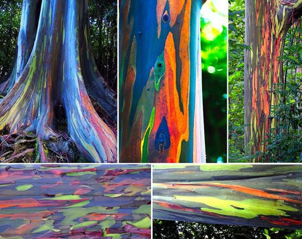 l'eucalyptus arc-en-ciel