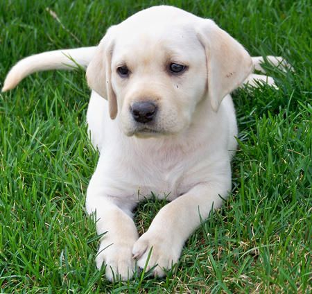 Larkin the Labrador Retriever