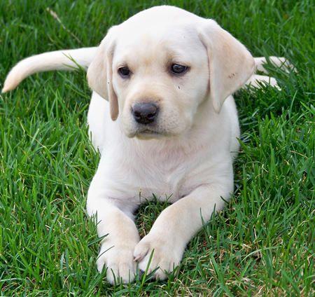 Larkin the Labrador Retriever
