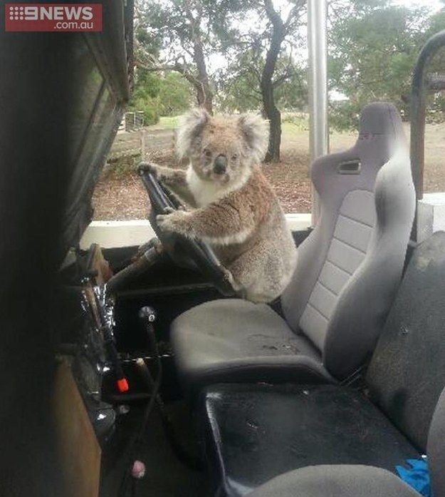 A teenager from the rural town of Maude, Victoria, was shocked to find a koala behind the wheel of his family's Land Rover. | A Koala Has Been Caught Trying To Steal A Car In Australia