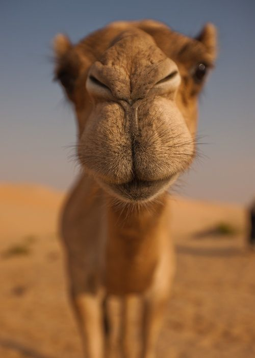 """Don't want to forget this lovely camel puss. Muuaahhhh. """"Morning Camel Kiss"""" by Mike Lewis   HH: Don't want to forget this lovely camel puss. Muuaahhhh."""