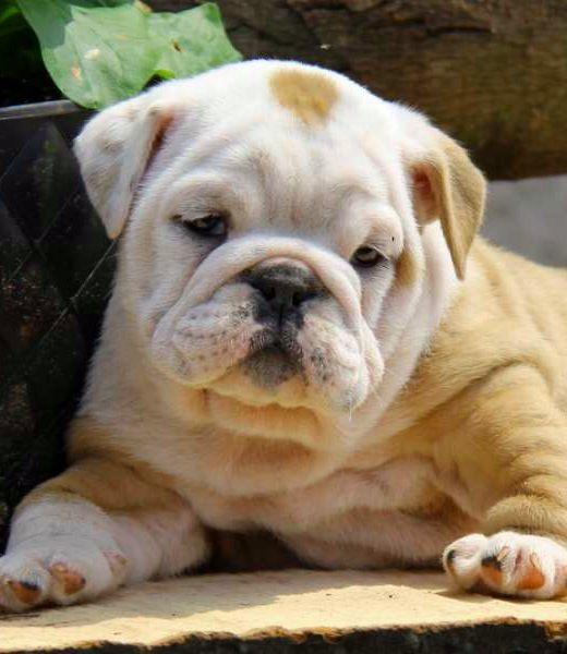 Sweet bully! I remember when Porkchop was this little.