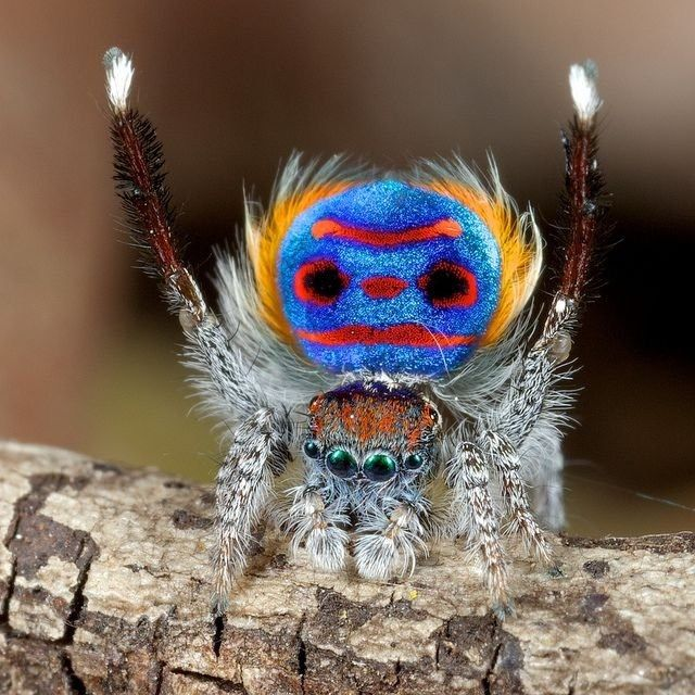 Jumping Spider Trying To Appear Intimidating