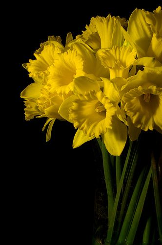 Daffodils.  A sure sign that Spring is here!