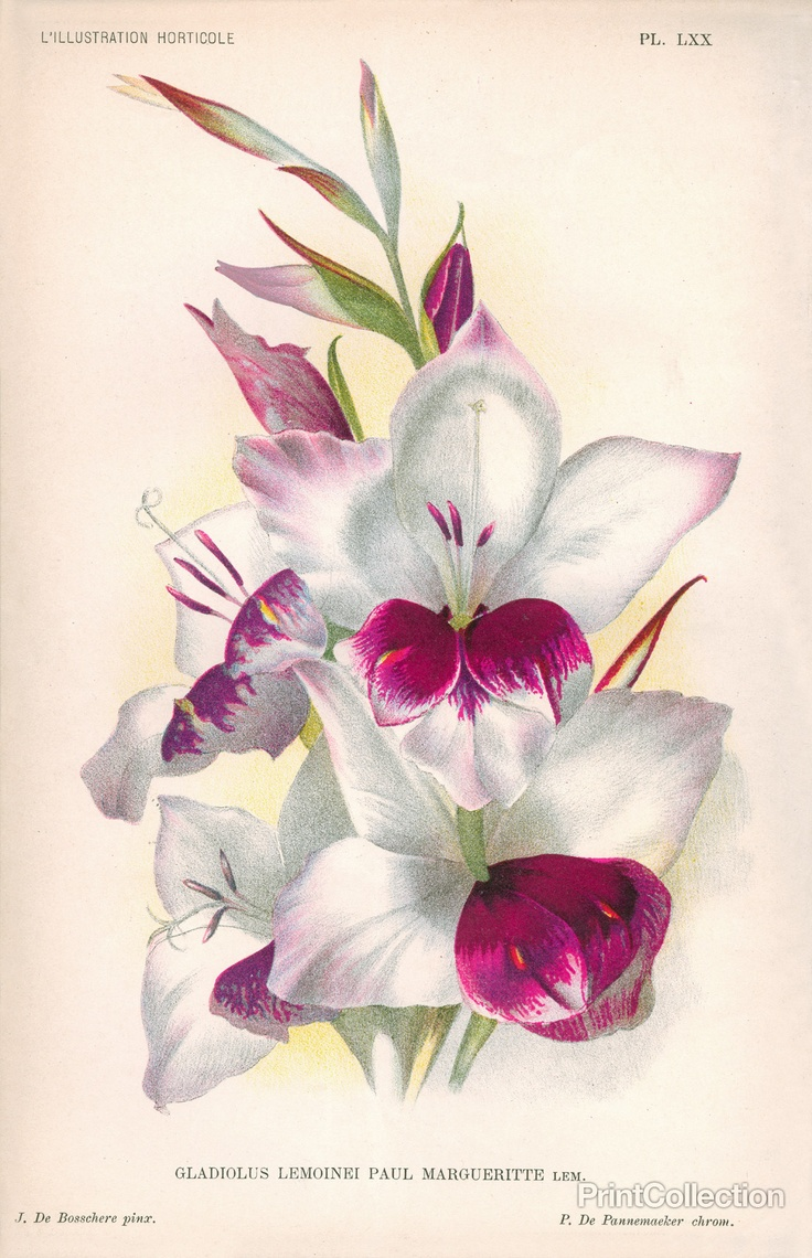 Gladiolas Chromolithograph published in Belgium in 1887-93 by Jean Jules Linden in the book L'Illustration Horticole