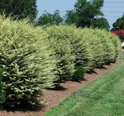 Fast growing shrub for privacy screens justin 39 s kelly 39 s remodel pinterest - Shrubbery for privacy ...