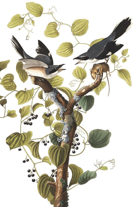 how to use audubon bird call