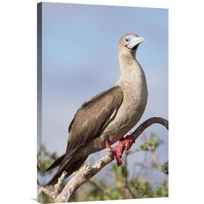 East Urban Home 'Red-Footed Booby in Palo Santo Tree, Galapagos Islands, Ecuador' Photographic Print Format: