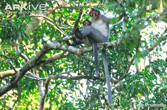 Hose's langur is a relatively small, slim-built primate (5), characterised by a high forehead and a prominent, forward-leaning crest down th...