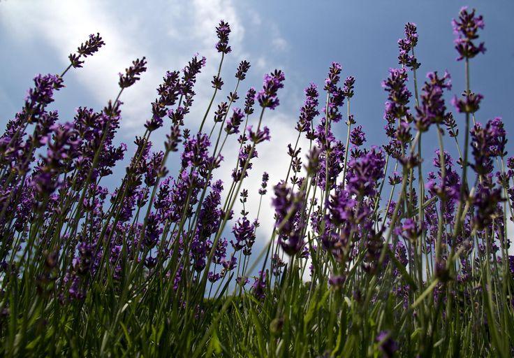 Lavender Sky by Köles Mihály on 500px
