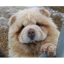 chow chow puppy for sale - Google Search