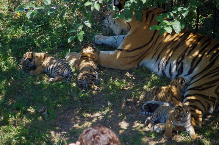 Тигрятам сегодня исполнилось 10 дней