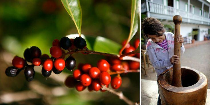 La sequía también afecta el cultivo de café en sombra. Visita la Hacienda Buena Vista en Ponce para conocer cómo y descubre el proceso de producción artesanal del café: desde el fruto hasta la taza...