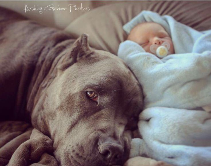 "From "" Royal Cane Corso """
