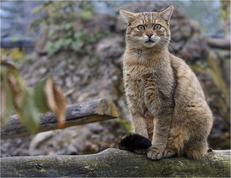 Europäische Wildkatze (5) von Robert Bauer