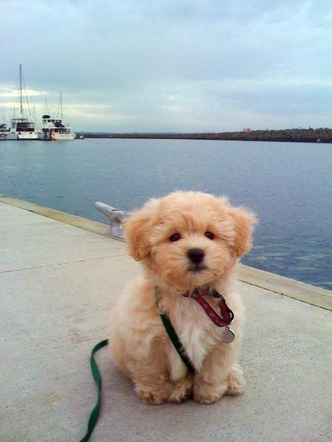 "It's called the ""teddy bear dog."" Half shih-tzu and half bichon frise. So precious!!!"