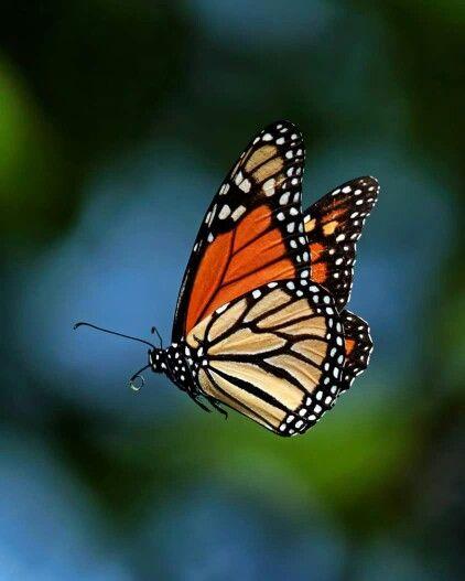 Hermoso monarca