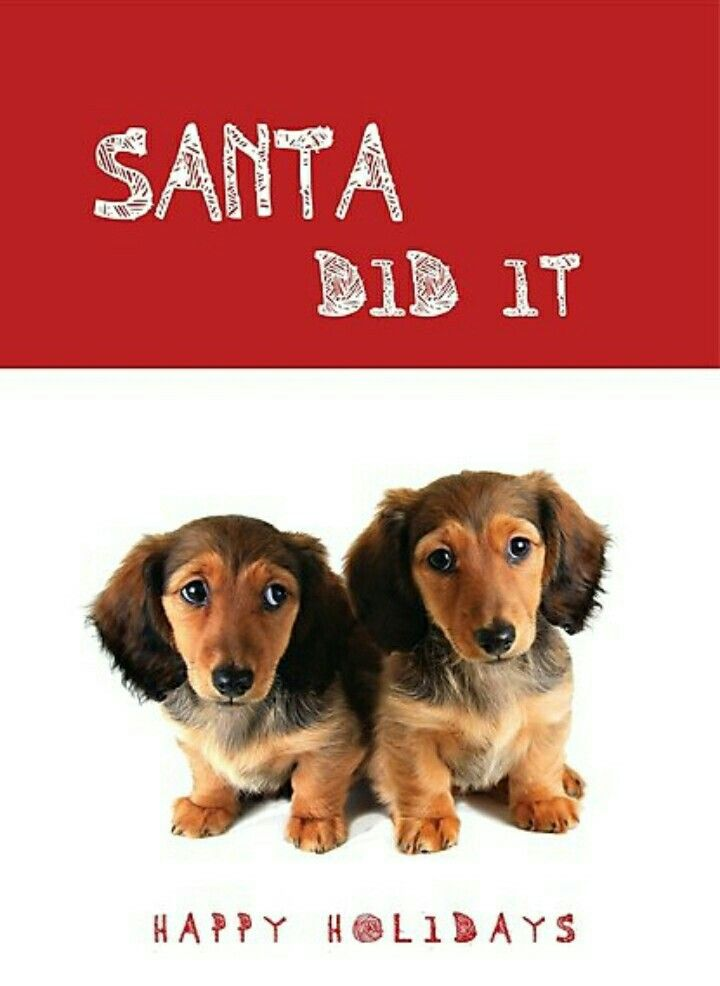 Christmas Longhaired Puppies Dachshund Puppies Poster