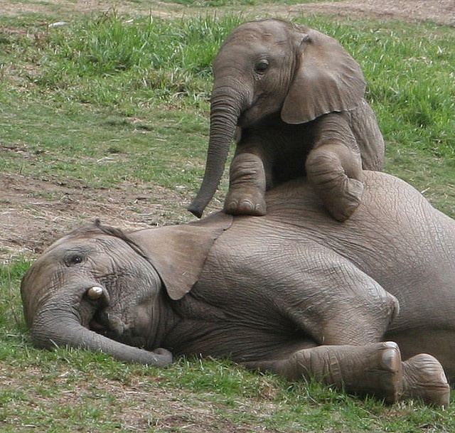 Baby elephant Impunga sits up on his big brother