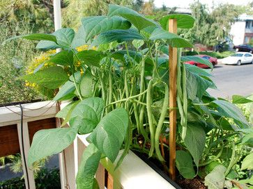 Jade' green beans growing in a window box. With the right organic soil mix and plenty of water, green beans can thrive in window boxes or other containers. Photo by Steve Masley  http://www.grow-it-organically.com/growing-green-beans.html
