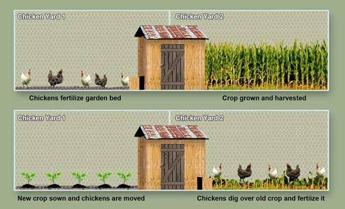 After harvesting, move the chickens to the other yard to take care of the plant remnants, adding sticks and other mulch for the chickens to tear up helping add even more organic matter to the soil.