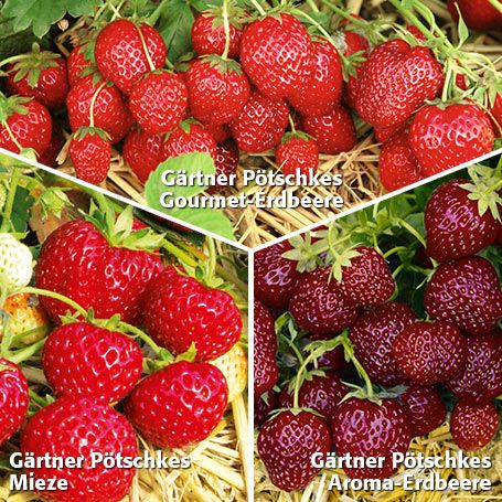Gärtner Pötschkes Erdbeersorten Auslese, getopft - Erdbeerpflanzen