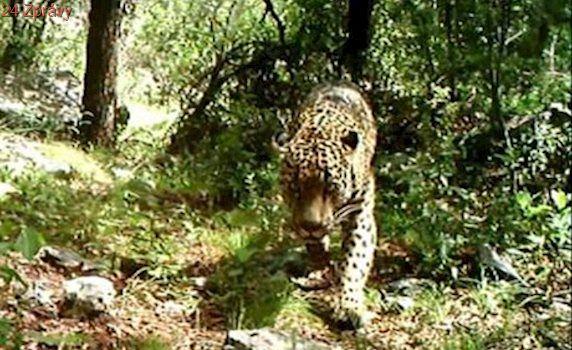 Konec jaguárů v USA? Trumpova zeď oddělí samce od samic