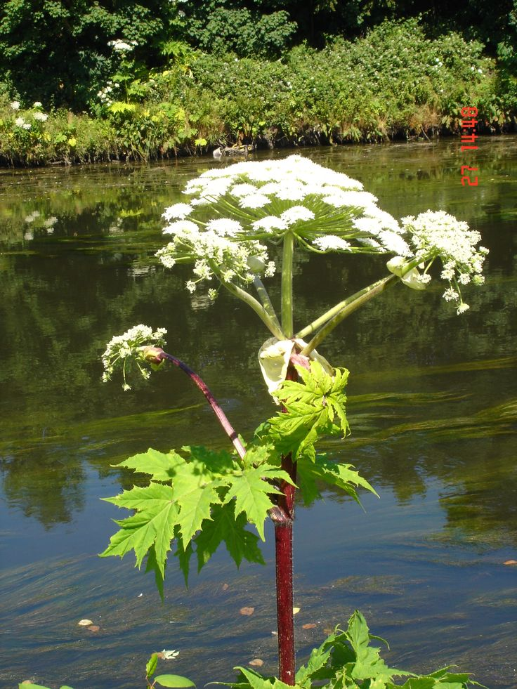 Giant hogweed can cause serious burns to your skin