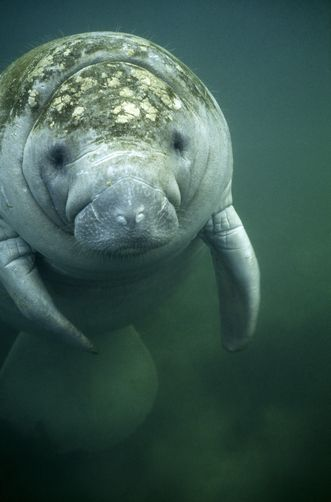 Front view of manatee, head and back layered with barnacle-like crust Photographer: James A. Sugar