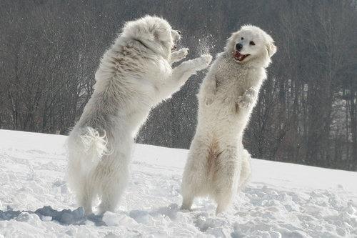 Polar bear dogs by ~Lollappaloosa  Great Pyrenees