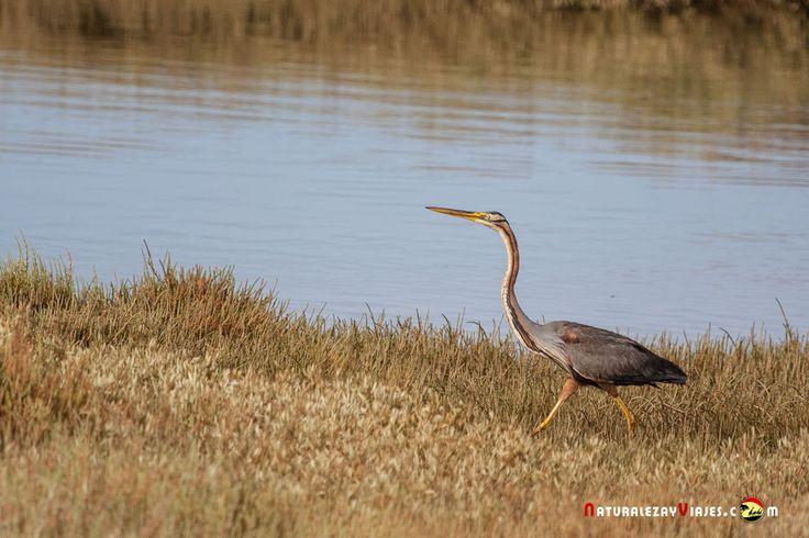 Dónde ver aves en el Algarve, Portugal - via Naturaleza y Viajes 16-01-2017 | El birdwatching, del que os hablé en este artículo que publicamos hace un par de meses, se basa en la observación y el estudio de las aves silvestres. Casi 300 especies de este grupo de vertebrados (entre rapaces, marinas, limícolas, anátidas, paseriformes y otras) se dan cita en este territorio repartidas a lo largo de todo el año. Foto: Garza imperial