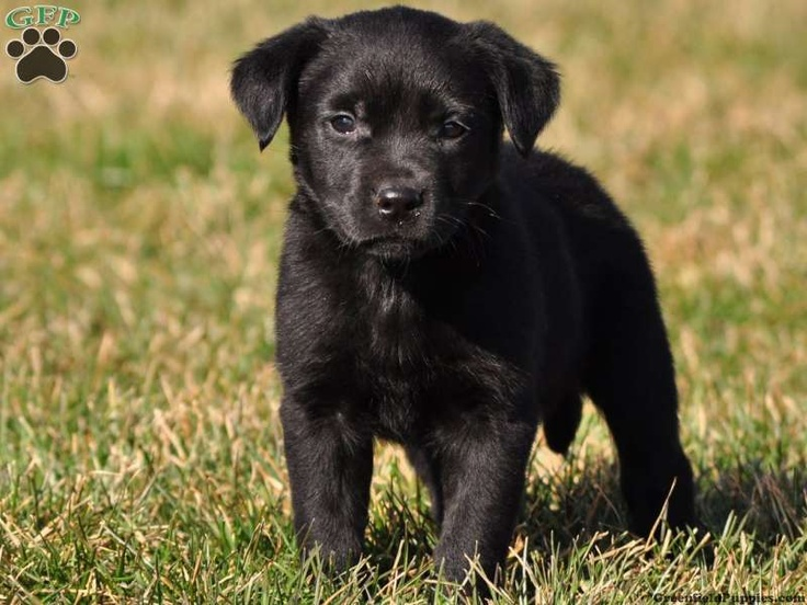 Rottweiler Golden Retriever Mix