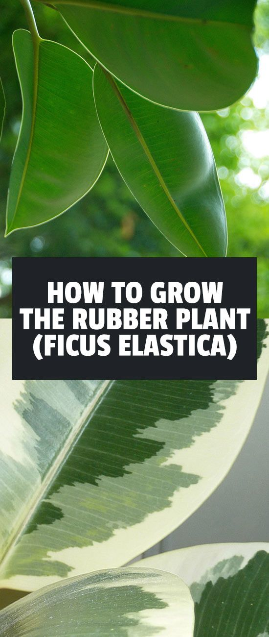Best 25 rubber plant ideas on pinterest fiddle leaf fig tree philodendron monstera and - Easy to take care of indoor plants ...