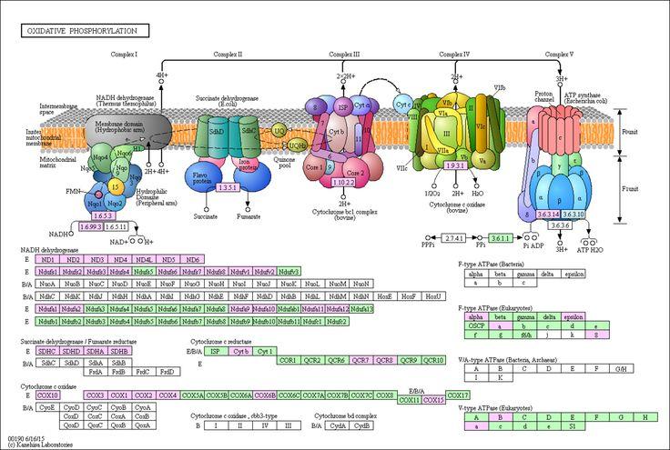 KEGG PATHWAY: Oxidative phosphorylation - Homo sapiens (human) + Disease/drug