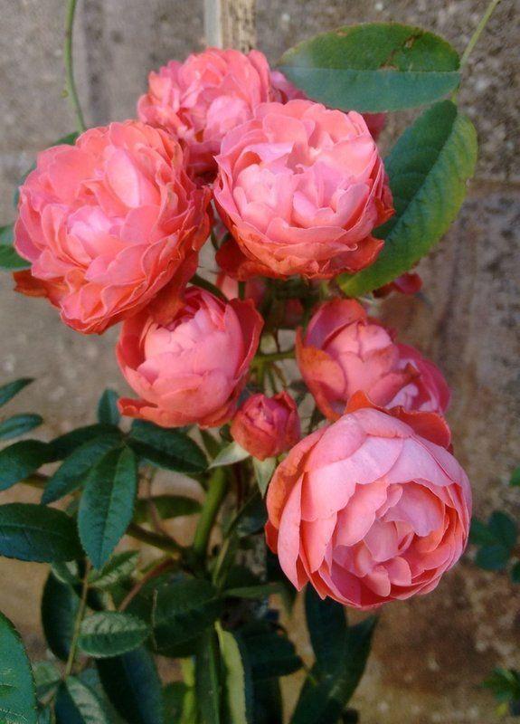 Rosas trepadeira, são hibridas que foram desenvolvidas para função de trepadeira com galhos mais flexíveis e mantendo as características da flor em matéria de beleza e perfume. Seus ramos chegam a atingir mais de 6 metros de comprimento, e ficam repletos de rosas na primavera, os ramos podem ser conduzidos, podados e moldados em formatos diversos sem nenhum prejuízo à planta, em corredores de treliças em formato de arco ficam maravilhosas exalando seu perfume encantador por todo corredor. A…