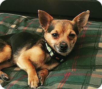 Denver, CO - Chihuahua Mix. Meet Jeremy, a dog for adoption. http://www.adoptapet.com/pet/17493412-denver-colorado-chihuahua-mix