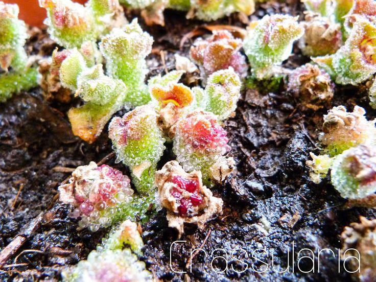 Mesembranthemum crystallinum, anémona de tierra.