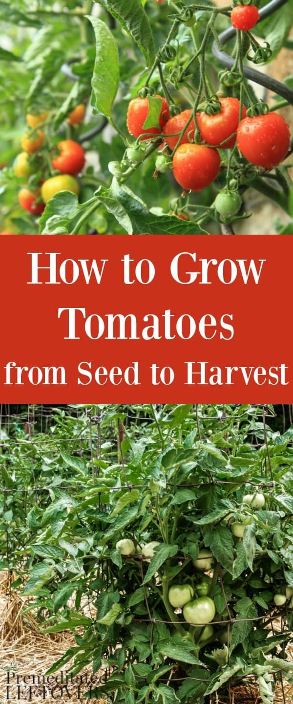 How to Grow Tomatoes in your garden. Gardening tips for Growing Tomatoes, including how to plant tomatoes, how to transplant tomato seedlings, and how to care for tomato plants.