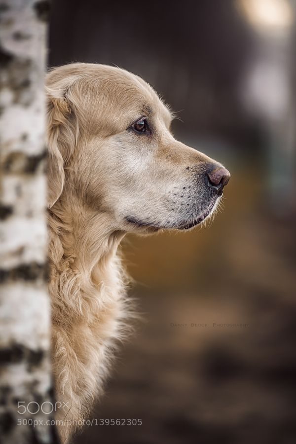 http://ift.tt/1K6283m #animals golden side view by DannyBlock http://ift.tt/1Q80KQy #pierceandbiersadorf