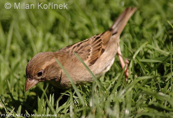 Vrabec domácí - Passer domesticus http://biolib.cz | © Milan Kořínek |