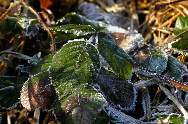 Frosted leaves and twigs