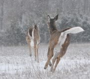 Is a whitetail's tail the gateway to its state of mind? Perhaps. Here, expert Tom Carpenter tells you how to interpret tail behavior.