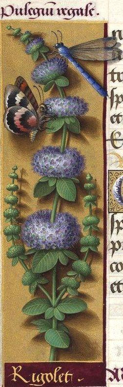 """Rigolet - Pulegium regale (Mentha Pulegium L. = menthe pouliot -- Le mot """"rigolet"""" semble dérivé du mot """"rigole"""", à cause de l'habitat ordinaire de la plante) -- Grandes Heures d'Anne de Bretagne, BNF, Ms Latin 9474, 1503-1508, f°84v"""