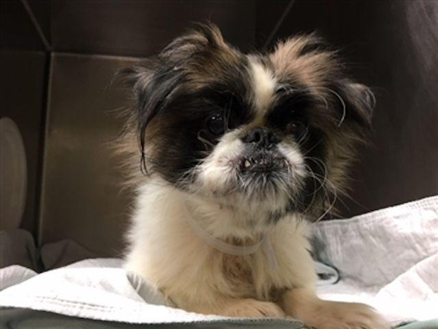 11619 Spike Super Urgent Adopt Newyork York Dog Dogs Pet Life