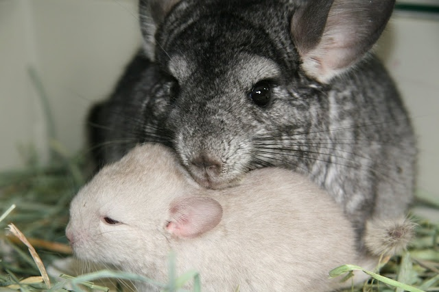 Chinchilla care - photo#35