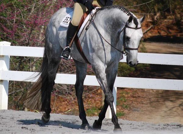grey quarter horse