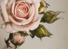 XXL Poster Fototapete Tapete Rose Blume Pflanze Foto 160 x 115 cm