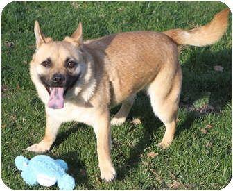 Pug/Corgi Mix Dog for adoption in Sacramento, California - Sokoto