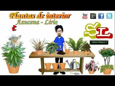 Azucena. Lirio de San Antonio. Lilium candidum. Plantas para interior, Plantas de casa - YouTube